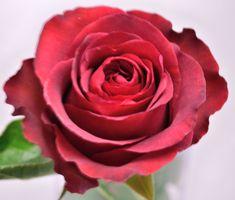 'Matilda' brick red Rose