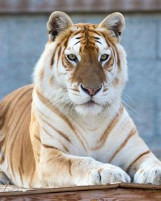 Rare Animals, Cute Baby Animals, Animals And Pets, Funny Animals, Royal Animals, Funniest Animals, Strange Animals, Tigre D'or, Big Cats