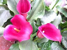 our sweetest calla lilies....beautiful bright fuschia