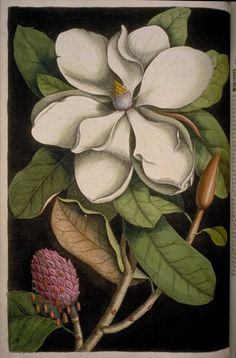 Mark Catesby The natural history of Carolina, Florida and the Bahama islands: containing the figures of birds, beasts, fishes, serpents, insects, and plants , 1731-43 [1729-48]; Magnolia altissima. Volume 2. Plate 61:
