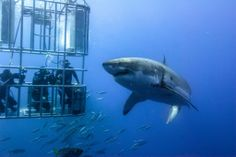 Shark diving off the Great Barrier Reef