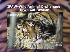 The Plight of Tigers in The US.- The Exotic Animal Trade in America