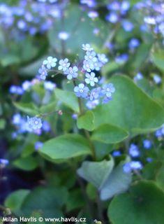 Brunnera macrophylla - Havlis.cz Blue Bouquet, Garden, Butterflies, Plants, Garten, Lawn And Garden, Gardens, Butterfly, Plant