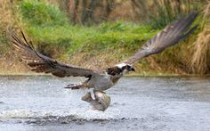An osprey lifts off with a rainbow trout clutched in its talons at the Rothiemurchus fishery in Aviemore, Scotland. The striking photograph was captured by 16-year-old student Samuel Aron from Watford.
