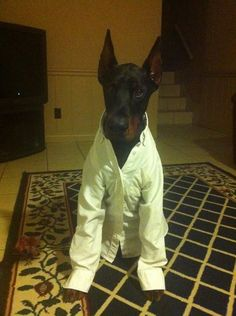 """yes boss, right away boss."" #Doberman"