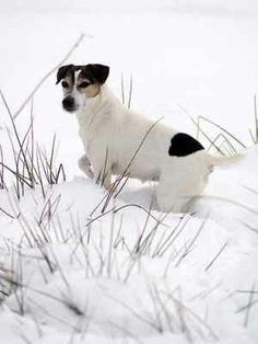 Jack Russell in the snow
