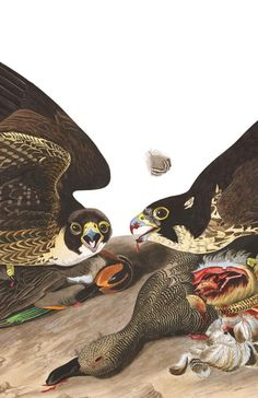 Great-footed Hawk by John James Audubon, Audubon Birds, Birds Of America, John James Audubon, Bird Embroidery, Bird Illustration, Bird Drawings, Zoology, Bird Art, Natural History