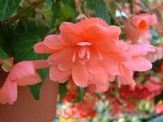 15 Seeds Begonia Trailing Cascade Beauty Rose Pelleted Seeds #begoniaseeds