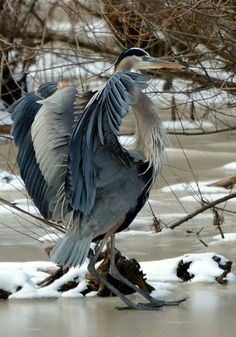 """Great Blue Heron ~ 39-52"""" (99-132 cm). W. 5'10"""" (1.8 m). A common large, mainly grayish heron with a pale or yellowish bill. Often mistaken for a Sandhill Crane, but flies with its neck folded, not extended like that of a crane. In southern Florida an all-white form, """"Great White Heron,"""" differs from Great Egret in being larger, with greenish-yellow rather than black legs. Voice: A harsh squawk."""