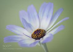 Senetti by TinaC #nature #photooftheday #amazing #picoftheday