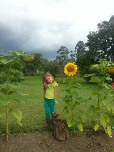 Giant Sunflower 2