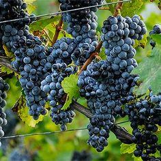 Se você considera vinho da Alemanha sinônimo de vinho branco, precisa conhecer essa uva, capaz de produzir fantásticos tintos alemães! O nome dessa cepa varia muito conforme a localização, com vários sinônimos oficialmente reconhecidos, inclusive, pela OIV (Organização Internacional da Vinha e do Vinho).