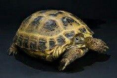 This is Ella Guffeys (kittylikers) tortoise, Tuck. Its so cute :3