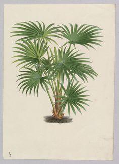 Verzeichnis und einige Abbildungen der Herrenhäuser Palmensammlung, 1851