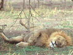 250 Lions Passed Away This Year From Gujarat Gir Forest