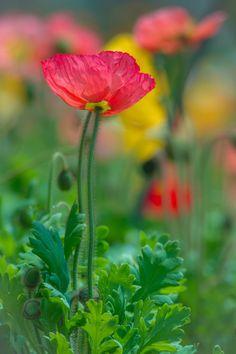 Poppies by rvtn