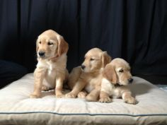 LCC K-9 Comfort Dogs in Training back in March 2012! #k9comfortdogs #dogs