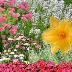 Vivaces de plein soleil. Aubriètes, Sedum spurium, lavande, achillées 'Summer pastel', hémérocalle, armoise, sedum spectabile