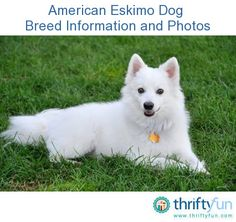 This guide contains American Eskimo dog breed information and photos. These beautiful dogs, originally known as the American Spitz, make wonderful companions.