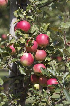 Pick your own apples Pick Your Own Apples, Orchards, Fruit, Fruit Tree Garden