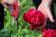 Pruning peonies is easy, and they often require no pruning at all. So how do you know when to trim peonies? Read this article to find out more about when and how to prune a peony.