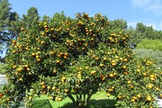 Fruit Forest, Eastern Bay of Plenty, New Zealand. We've been certified organic since 1986 and grow avocados, tamarillos, persimmon, feijoas and small quantities of other fruits