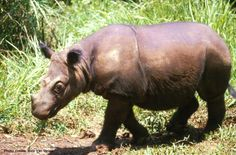Sumatran rhinos have a reddish-brown skin covered with hair, which can vary from a short, bristly coat, to a shaggy fur for those in captivity because of less abrasion from vegetation
