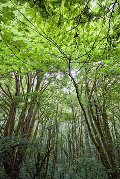 Tree canopy. Tree Canopy, Walk In The Woods, Forests, Landscapes, Trees, Cottage, Spaces, Plants, Photography