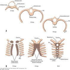 Thoracic Wall The small costal processes of the primitive thoracic vertebrae develop extensions that form the ribs (Fig. 2-1A). In the fifth week, the costal processes of the vertebrae in the thoracic region begin to elongate. The costovertebral joints form and separate the ribs from the vertebrae