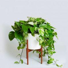 Epipremnum aureum : plante d'intérieur à feuillage persistant