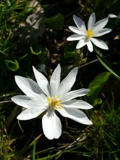 Blood Root @ vermont wildflower- prefers shade/moist woodland, used for cures from skin cancer, sore throats, warts, fungus, ringworm, etc. antibacterial and anti-plaque.