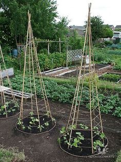 Bean tepees - note that twine/wire runs horizontally, while bamboo supports run vertically