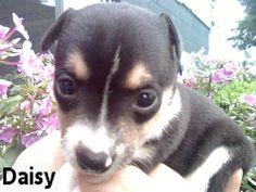 www.ThatDoggyintheWindow.com - Daisy Female Toy Fox Terrier, $105.00…