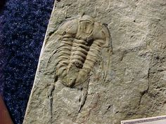 Name: Albertella longwelli Palmer in Palmer and Halley, 1979 Trilobite Order Corynexochida, Family Zacanthoididae  Locality: Pahrump, Nevada - Johnny Site  Trilobite Formation: Jangle Limestone, Carrara Formation, Middle Cambrian  Stratigraphy: Middle Cambrian  Remarks: During the last few years a whole host of new species have been discovered in the Metaline Formation.