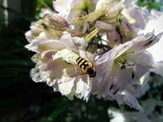 """A visitor in my """"Blushing Bride"""" Delphiniums..."""
