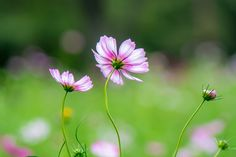 2013 Autumn Cosmos | by shinichiro*