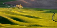 Palouse Lone Tree