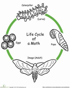 COMPLETE METAMORPHOSIS  Insects like moths and beetles go through complete metamorphosis. They hatch from eggs into caterpillar or grub that looks very different from the adult. The larva eventually goes into a resting pupa that hatches into an adult. Development through all stages of this cycle is one generation. Left are the cycles of a complete metamorphosis.