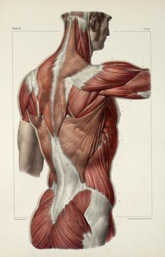 Muscles of the back, shoulder and buttocks - Traité complet de l'anatomie de l'homme comprenant la médecine opératoire, par le docteur Marc Jean Bourgery - Nicolas Henri Jacob (artist), 1831-1854.