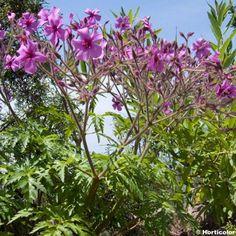 Géranium vivace palmatum
