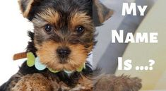 The Best Yorkie names for Male and Female Yorkshire terriers. If you are looking for cute, unique or funny name for your puppy. Puppies Names Female, Yorkie Names, Dog Names, Teacup Yorkie, Yorkie Puppy, New Puppy, Funny Names, Yorkshire Terrier Puppies, King Kong