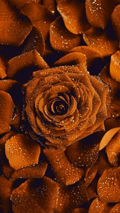 Rare Roses, Empty, Brown, Flowers, Mobile Wallpaper, Wall Papers, Florals, Chocolates, Flower
