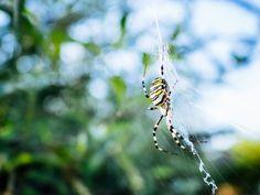 Au détour d'un buisson dans le jardin #Animal #Animals #Animaux #Araignée #Garden #Insect #Insecte #Jardin #Nature #Spider #animal
