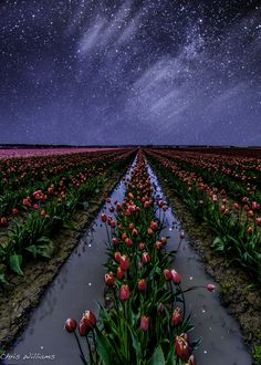 """kevwil:  """"Starlit Tulips"""" by cwexplorationphotography (http://500px.com/photo/44039192)"""