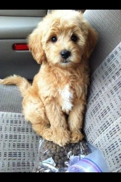What a lovely little labra poodle...