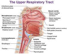 upper respiratory tract, nasopharynx, osopharynx, laryngopharynx, nasal conchae, meatuses, larynx, epiglottis, vestibular fold, cricoid cartilate, trachea, uvula