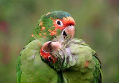 Parrots grooming one another.