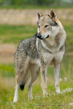 Československý vlčák - Wolfdog Bohemia Kennel - Fotoalbum - Amore Mio Srdcerváč