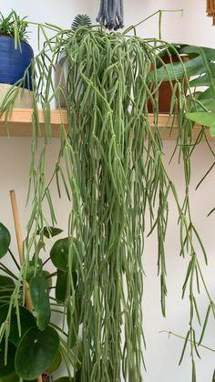 Hoya Plants, Potted Plants, Indoor Plants, Garden Trees, Garden Plants, Pencil Plant, Gardening For Dummies, Bathroom Plants, Herbs Indoors