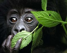 Baby Mountain Gorilla, North West Rwanda - David Yarrow Photography/Getty Images